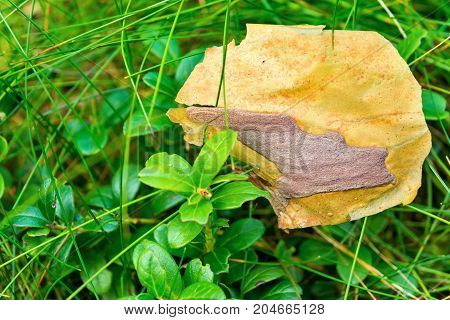 the abstract piece of coniferous bark or birch bark is located on a wild green grass a closeup