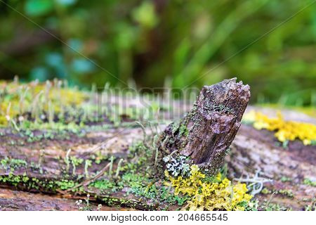 abstract knot of an old tree on a trunk closeup with a moss and with a lichen