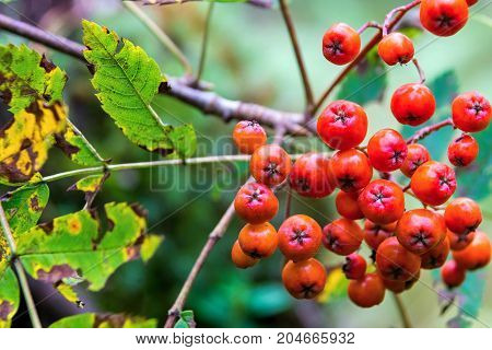 one bunch of berries of a wild ripe red mountain ash closeup in the foreground