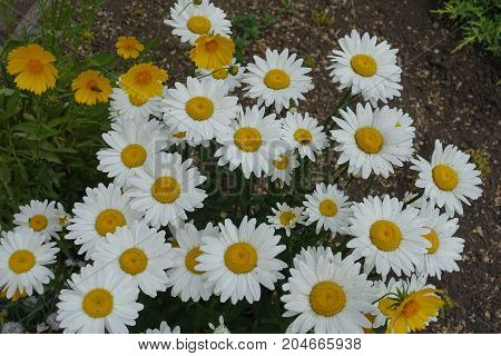 White Flowers Of Daisy In The Garden