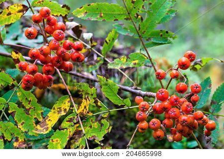 two bundle of berries of a wild ripe red mountain ash closeup in the foreground