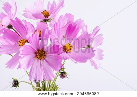 Delicate Cosmos pink flowers in glass vase on white background