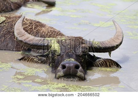 Water buffalo submerged in water looking at camera in muddy water