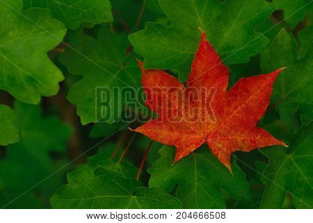 Single red maple leaf among green leaves. Autumn background.