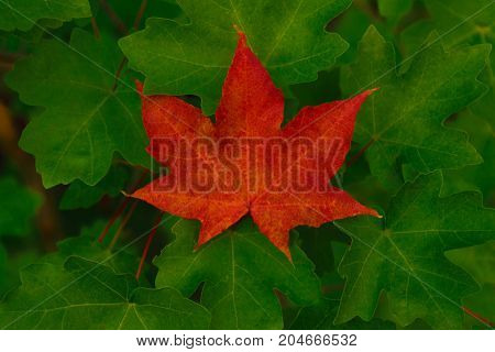Single red maple leaf among green leaves. Autumn decoration.