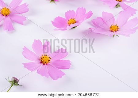 Summer flower pattern. Delicate  cosmos pink flowers on white background