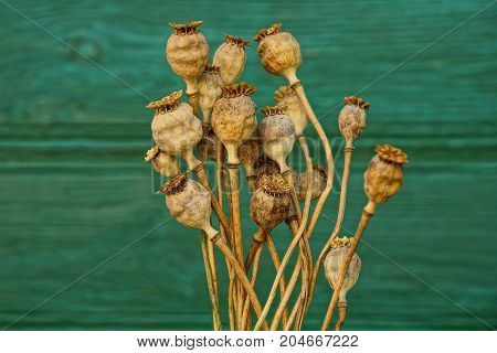dry brown poppies on a green wall background