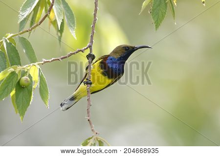 Olive-backed Sunbird Cinnyris Jugularis Male Cute Birds Of Thailand