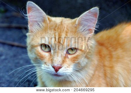 Red cat sitting and looking at the street