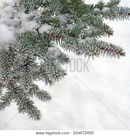 Winter nature branchesof blue fir christmas tree  in snow