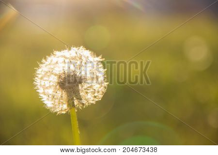 White dandelion in a meadow in the rays of the evening sun