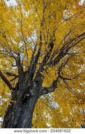 Beech tree in autumn. Nature background in Maine USA