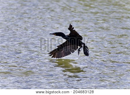 Beautiful Picture With A Cormorant Landing To Lake