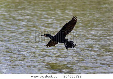 Beautiful Image Of A Cormorant Landing To Lake
