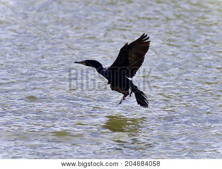 Isolated Photo Of A Cormorant Landing To Lake