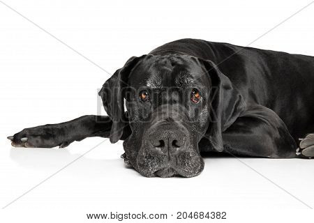 Great Dane Lying Down