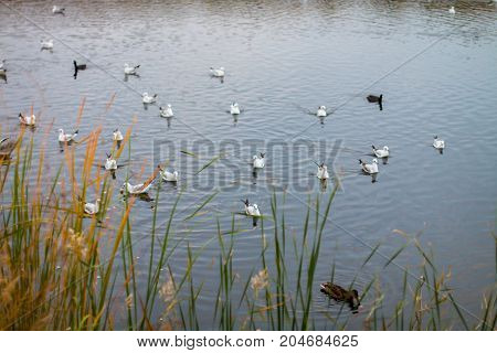A flock of white big seagulls in an autumn park in the evening fishing in the lake