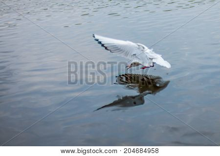 gull hunts fish in the lake in dark transparent water