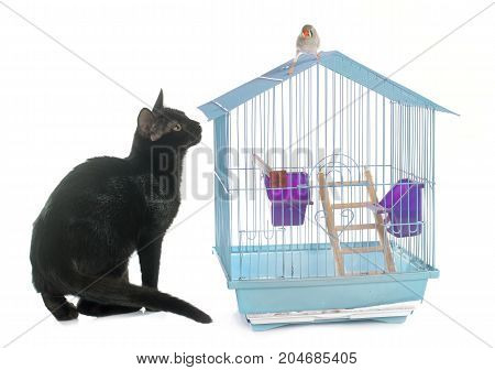 kitten playing with Zebra finch in front of white background