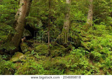 Mossy undergrowth in mountain fairytale forest. Thicket of fern, rocks, green stones, root. Carpathian mountains, National Park Skole Beskids, Ukraine