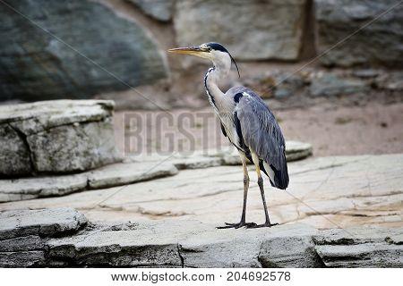 Beautiful Grey Heron (ardea Cinerea) Near The Rocks
