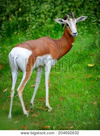 Springbok antelope (Antidorcas marsupialis) in the forest