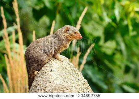 Dwarf Mongoose (helogale Parvula) Perched On Stone