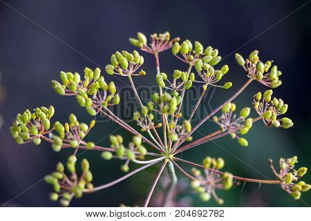 Ripe Seeds of dill on a branch on a natural background