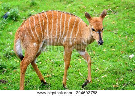 Female nyala antelope ( Tragelaphus angasii )