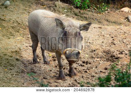 Common warthog ( Phacochoerus africanus). Front view
