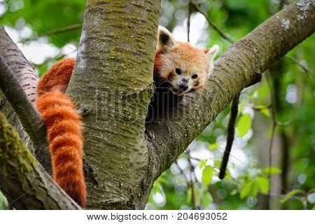 Red Panda, Firefox Or Lesser Panda (ailurus Fulgens) Sitting In A Tree