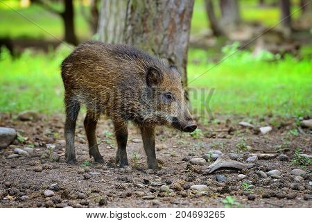 Young Wild Boar In The Forest. Selective Focus