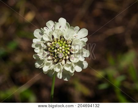 Cream Pincushions or Scabious Scabiosa Ochroleuca flower close-up selective focus shallow DOF.
