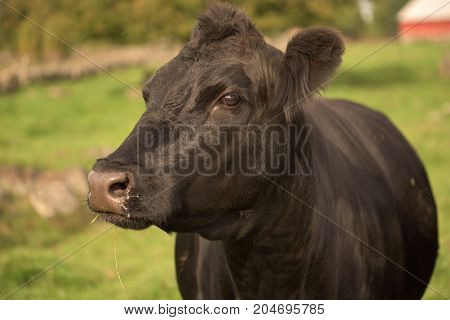 Close up Black Angus Cow, outdoor farmlife
