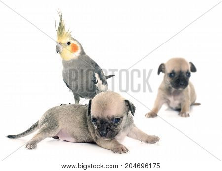 young puppies chihuahua and cockatiel in front of white background