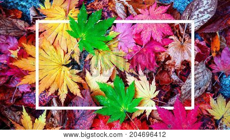 Background of white frame and colorful maple leaves in autumn.