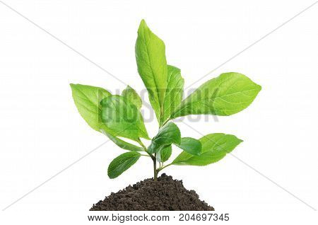 Green Plant Growing In Soil Isolated On A White