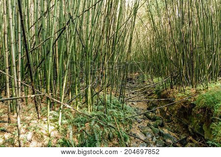 Wide angle of Bamboo forest in the hillside of volcano park, the start for gorilla trekking adventure