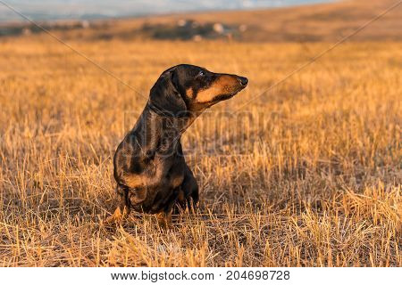 dog (puppy) breed dachshund black tan playing and walking on a autumn grass in the park.