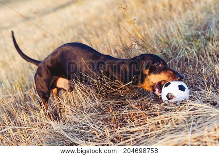 dog (puppy) breed dachshund black tan looks at his ball while waiting for the game on a autumn grass and mountains