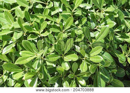 Green leaves texture background macro, False Hellebore toxic plant .