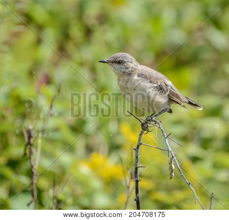 A young Mockingbird (Mimus polyglottos), sitting on a branch, shown in left profile, in Kleinsfeltersville, Pennsylvania, USA.