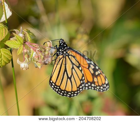 A Monarch Butterfly (Danaus plexippus) shown in left profile, gathering nectar from a wild flower blossom near Lake Ontario, New York, USA