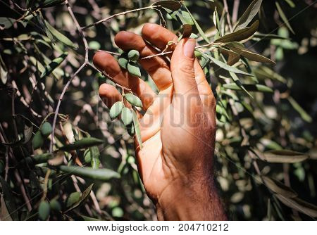 A farmer checking his new olive crop in the orchard