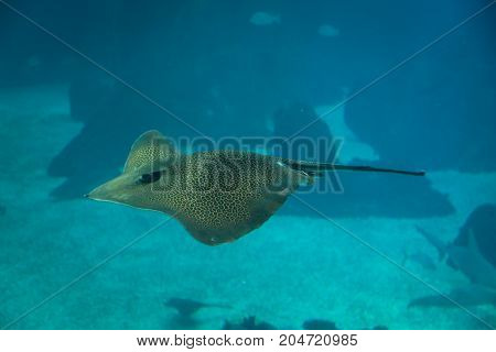 Devil Fish inside Blue Aquarium Tank, Animal and Fish Theme