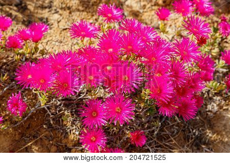 Many Small Magenta Carpobrotus Flowers