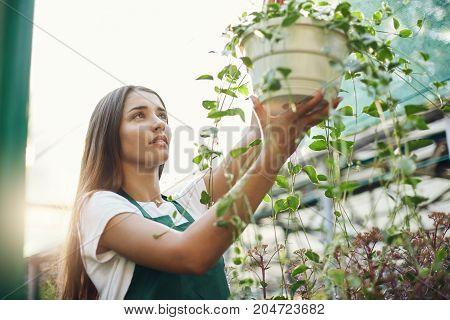 Female gardener taking care of flowers hanging in a bowl preparing for sale. Flower shop.