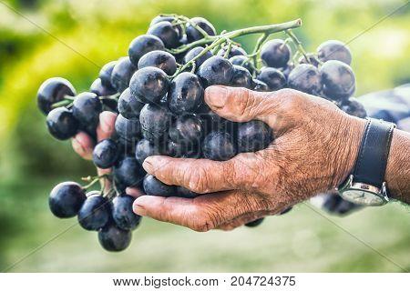 Grapes harvesting. Black or blue bunch grapes in hand old senior farmer.