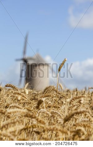 Selective focus on few wheat ears in a field of cereals against an out of focus tranditional French windmill in the background.