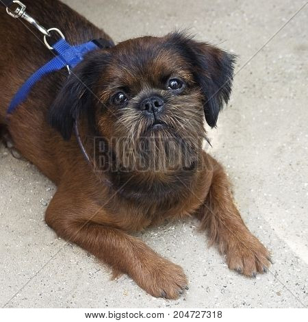 portrait of a young Brussels griffon dark-brown in a blue harness a view from above